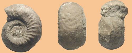 Stephanoceras humphriesianum  Середня юра. Закарпатська обл.